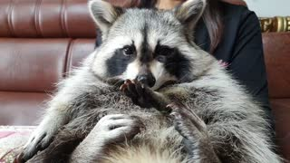 Raccoon looks at the tangerine peel and looks at Rocket Raccoon's face.