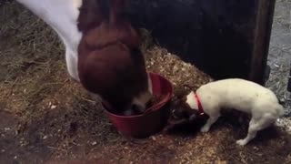 Greedy dog struggles to share dinner with horse