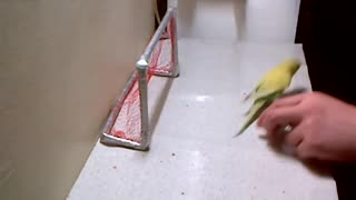 You Can Teach a Small Bird New Tricks - Video