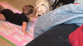 Gentle pit bull preciously plays with baby