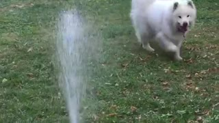 Dog bites water sprinklers
