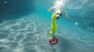 Pit Bull Border Collie mix Coco dives underwater like a mermaid for her dog toys