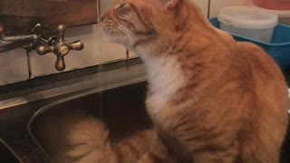 Funny cat drinking water in the kitchen sink