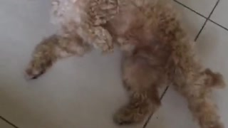 White dog playing dead on ground - Video