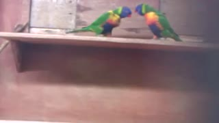 Lorikeets playing - Video