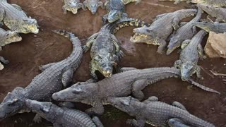 Crocodiles Devour Chicken - Video