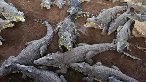 Crocodiles Devour Chicken