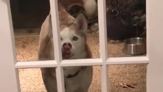 Dog presses mouth against window - Video