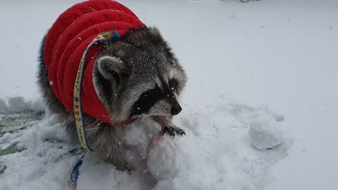 Raccoon plays with snow and finds food to eat.