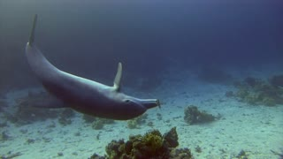 Dolphin Invites Diver to Join in Ocean Game