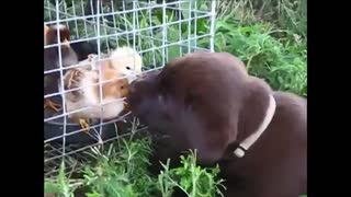 Lab puppy meets baby chicks for the first time - Video