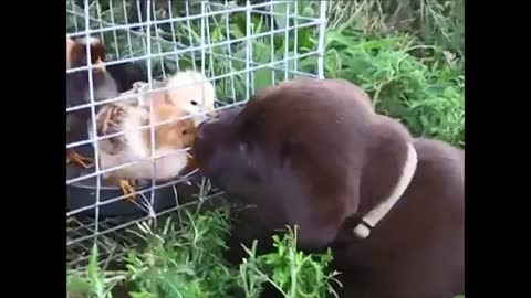 Lab puppy meets baby chicks for the first time