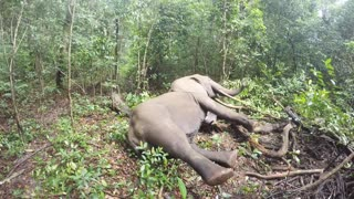 Elephant Wake-Up Call From The Forests Of Gabon - Video
