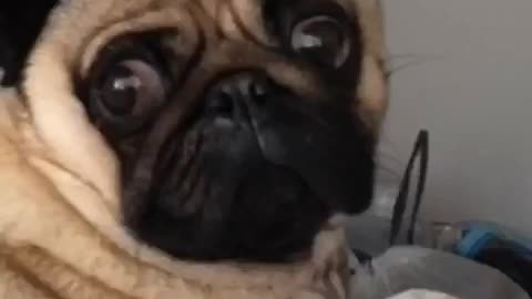 Dramatic pug delivers epic face for the camera