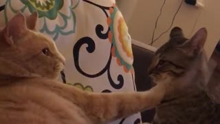 Cats play fighting with one another