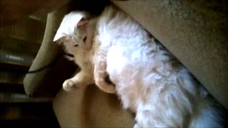 Lazy Cat v.s. Phone Charger - Video