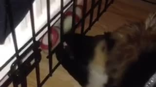 German shepard puppy trying to get red toy from behind black cage - Video