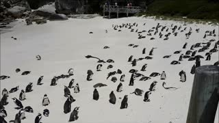Penguins on the beach - Video