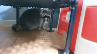 Raccoon is hiding because he doesn't want to exercise.