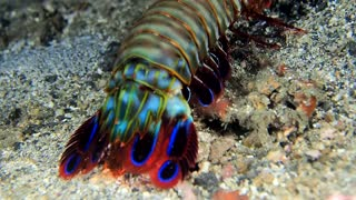 The Vibrant and Gorgeous Peacock Mantis Shrimp
