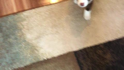 Adorable puppy does the cutest lie down ever