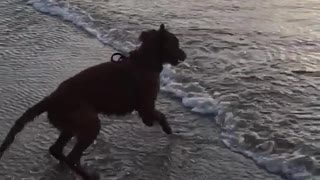 Brown dog running away from waves at the beach  - Video