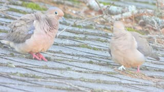 The Mating Ritual of the Mourning Dove