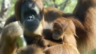 San Diego Zoo's baby orangutan is growing and teething - Video