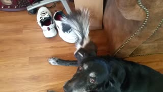 Baby Skunk Wants to be Friends With Old Dog - Video