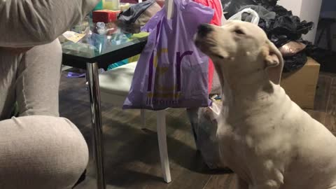 Bet You Haven't Seen A Dogo Argentino Eat Cookies This Fast Before
