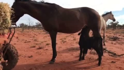 Orphaned Calf Finds Unlikely Foster Mum In Old Mare