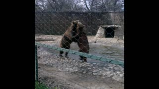 Bear Fight in the Skopje Zoo - Video