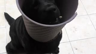 Black dog with black bucket on head