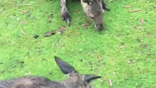 Walking with Kangaroos Family  - Video