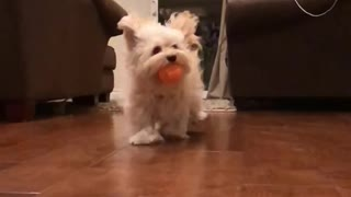 White dog with orange ball in his mouth runs  - Video