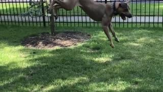 Tan dog jumps high to catch bubbles on the grass  - Video