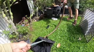 Massive Eastern Brown Snake in a Shed