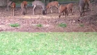 Deer browsing around the house