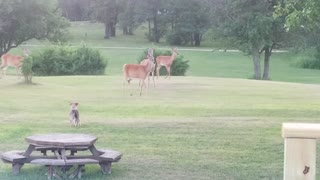 Excited Puppy Plays With Herd Of Wild Deer - Video