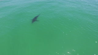 Flying with a Great White Shark