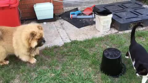Chow Chow vs my mum's cat