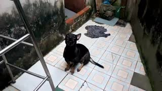 The dog protects its bathroom  - Video