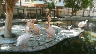 Morning Day For beautiful Pink Pelican