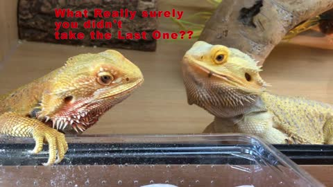 Hillarious Video of Bearded Dragons sharing food