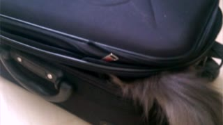 Cat claims and defends suitcase from the inside - Video