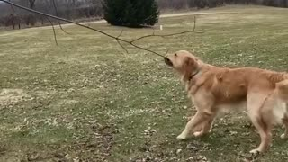Self quarantine doggy plays tug-of-war with tree branch