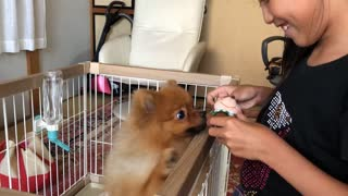 This adorable pomeranian dog loves Mickey Mouse