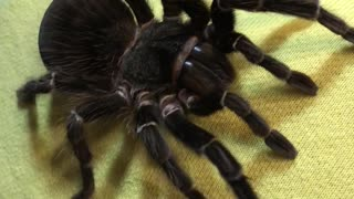 Tarantula Climbs on 12 Y.O. Girl - Video