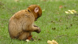 A brown monkey sits eating bread in the garden