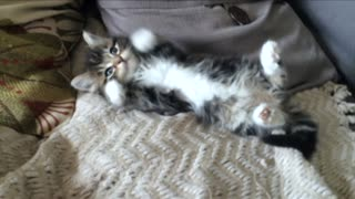 Most Adorable and Cutest Kitten Ever Getting Tickled